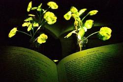 让植物自动发光来提供照明   或将取代多数灯具